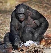 Kanzi-bonobo