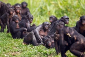 bonobo-animali-scimmie-uomo-societa-africa-ph-fiona-rogers-lasantafuriosa
