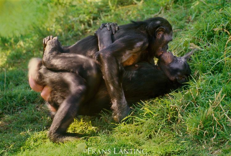 bonobo-sesso-africa-animali-societa-lasantafuriosa