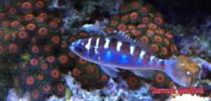serranus-tortugarum-chalk-bass-panama-mar-dei-caraibi-pesci-animali-ermafrodito-lasantafuriosa