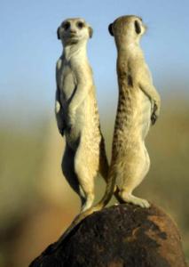 suricati-animali-immagine-focus-it-lasantafuriosa