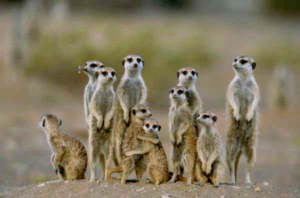 suricati-famiglia-lasantafuriosa
