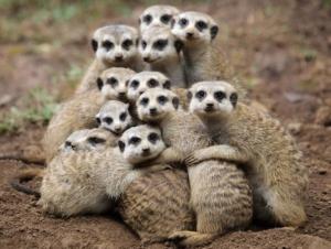 suricati-lasantafuriosa