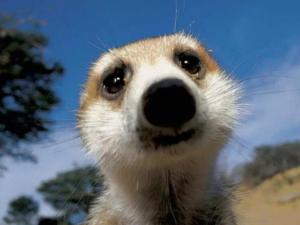 suricato-primo-piano-lasantafuriosa