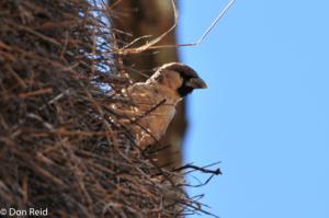 tessitore-sociale-sud-africa-uccelli-animali-societa-lasantafuriosa
